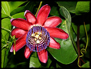 Passifloraceae Framed Prints - Ruby Passiflora Framed Print by Gabriele Pomykaj