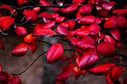 The Forests Edge Photography - Ruby Red Leaves