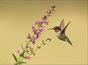 Bird In Flight Pyrography Acrylic Prints - Ruby Throat Hummingbird on Purple Hysoop Flower Acrylic Print by Daniel Behm