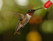 Spider And Fly Prints - Ruby-Throat Hummingbird Print by Robert L Jackson