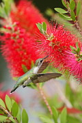 Green.wings Framed Prints - Ruby-throated Hummingbird 2AM-31257 Framed Print by Andrew McInnes
