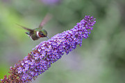 Flowering Bush Posters - Ruby Throated Hummingbird at butterfly bush Poster by Rob Travis
