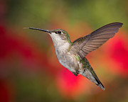 Feeding Birds Posters - Ruby Throated Hummingbird Poster by Dale Kincaid