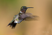 Ruby-throated Hummingbird Posters - Ruby-throated Hummingbird Poster by Everet Regal