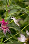 Gregory K Scott - Ruby-throated Hummingbird