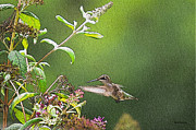 Gardens And Flowers - Ruby throated Hummingbird Hovering by Crystal Wightman