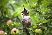 Little Bird Digital Art - Ruby-Throated Hummingbird In A Crabapple Tree by Christina Rollo
