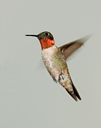 Ruby-throated Hummingbird In Flight Print by Lara Ellis