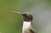 Reflections Of Infinity Posters - Ruby-throated Hummingbird Male 11704-1 Poster by Robert E Alter Reflections of Infinity