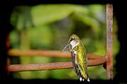 Birds Of A Feather Posters - Ruby Throated Hummingbird Poster by Steven  Michael