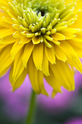 Color Yellow Posters - Rudbeckia Cherokee Sunset Flower Poster by Tim Gainey