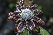 Steve Purnell - Rudbeckia First Frost