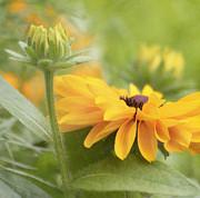 Kim Hojnacki - Rudbeckia Flower