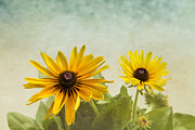 Yellow Flowers Posters - Rudbeckia Flowers Poster by Kim Hojnacki