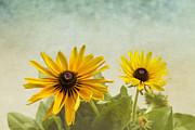 Kim Hojnacki - Rudbeckia Flowers