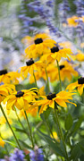 Coneflowers Prints - Rudbeckia Fulgida Goldsturm Print by Tim Gainey