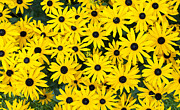Asteraceae Posters - Rudbeckia Fulgida Pot Of Gold  Poster by Tim Gainey