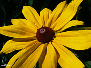 Black Eye Susan Prints - Rudbeckia Macro Print by Barbara St Jean