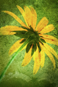 Photofusion Prints - Rudbeckia on Cement Print by  Onyonet  Photo Studios