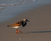 Arenaria Interpres Posters - Ruddy Turnstone 4 Poster by Scott Bush