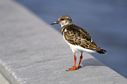 Arenaria Interpres Posters - Ruddy Turnstone Bird Arenaria interpres Florida USA Poster by Sally Rockefeller
