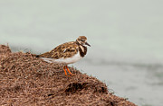 Arenaria Interpres Posters - Ruddy Turnstone by the Waters Edge Poster by John Bailey