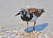 Kathy Baccari - Ruddy Turnstone In...