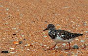 Spencer  Joyner - Ruddy Turnstone