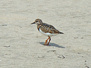 Arenaria Interpres Posters - Ruddy Turnstone Wading Bird - Arenaria interpres Poster by Mother Nature