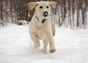 Rudy Prints - Rudy the Yellow Lab puppy Jumping in the falling snow Print by Keith Bell