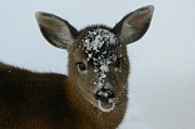 Mule Deer Buck Photograph Photos - Rudy by Tia Marie McDermid