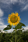 Colorado Art - Ruffle Sunflower by Peter Tellone
