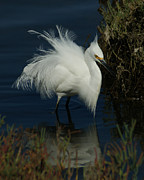 White Birds Photos - Ruffled by Ernie Echols