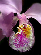 Orchid Macro Framed Prints - Ruffled Framed Print by Jessica Jenney