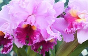 Kathleen Photos - Ruffled Orchids by Kathleen Struckle