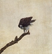 Bird On Tree Prints - Ruffled Up Osprey Print by Kim Hojnacki