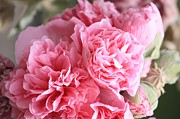 Hollyhocks Photos - Ruffly Pink Hollyhock by Carol Groenen