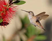 Bottle Brush Photos - Rufos Hummingbird by Tessa Fairey