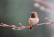 Rufous Framed Prints - Rufous Hummingbird 2 Framed Print by Angie Vogel
