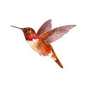 Flying Bird Paintings - Rufous Hummingbird by Amy Kirkpatrick
