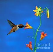 Rufous Hummingbird Print by Anthony Mercieca