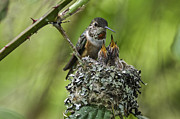 Twisp Photo Prints - Rufous hummingbird  Print by Frank Pali