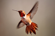 Rufous Framed Prints - Rufous Hummingbird Framed Print by Jason Bates