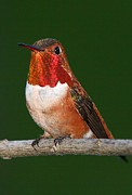 Paul DeRocker - Rufous Hummingbird
