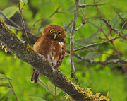 Owlet Framed Prints - Rufous Morph Costa Rican Pygmy-Owl Framed Print by Tony Beck