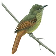 Brown Drawings - Rufous tailed flatbill  by Anonymous