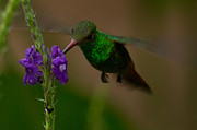 Hummingbird Art - Rufous Tailed Hummingbird Costa Rica by Natural Focal Point Photography