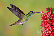 Anthony Mercieca - Rufous-tailed Hummingbird