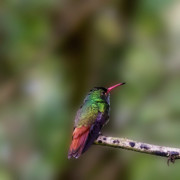 Trochilidae Photo Acrylic Prints - Rufous-tailed Hummingbird Acrylic Print by Heiko Koehrer-Wagner