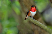 Laura Mountainspring - Rufus Hummingbird